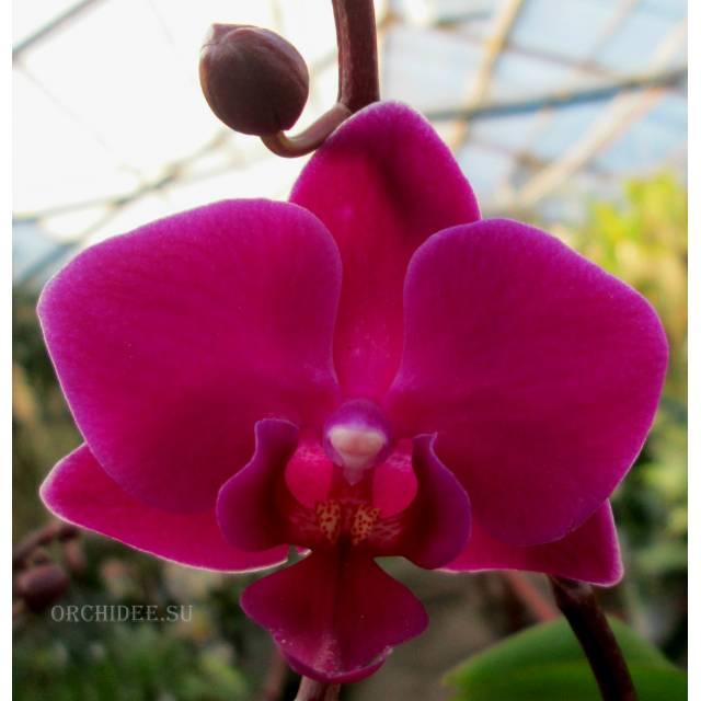 Phalaenopsis PHM 079