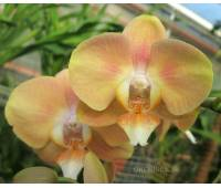 Phalaenopsis PHM 080