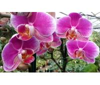Phalaenopsis PHM 082