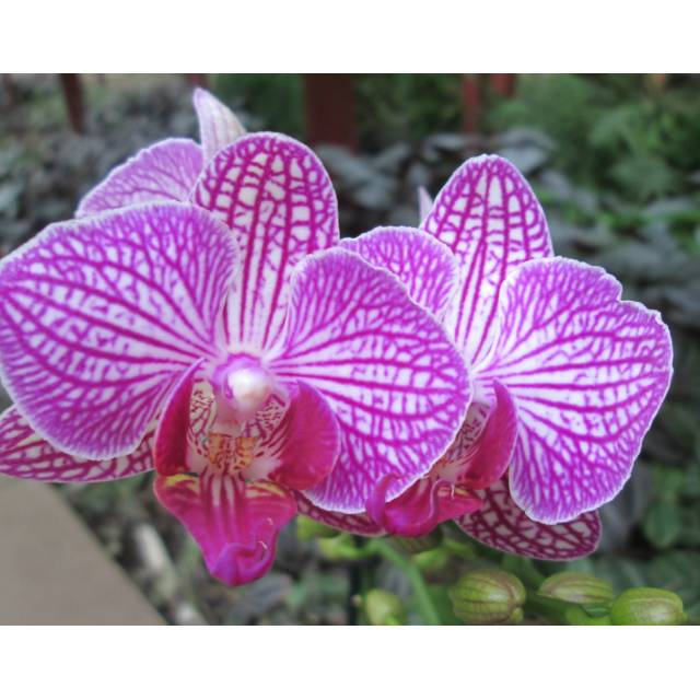 Phalaenopsis PHM 084 Valley Buzz