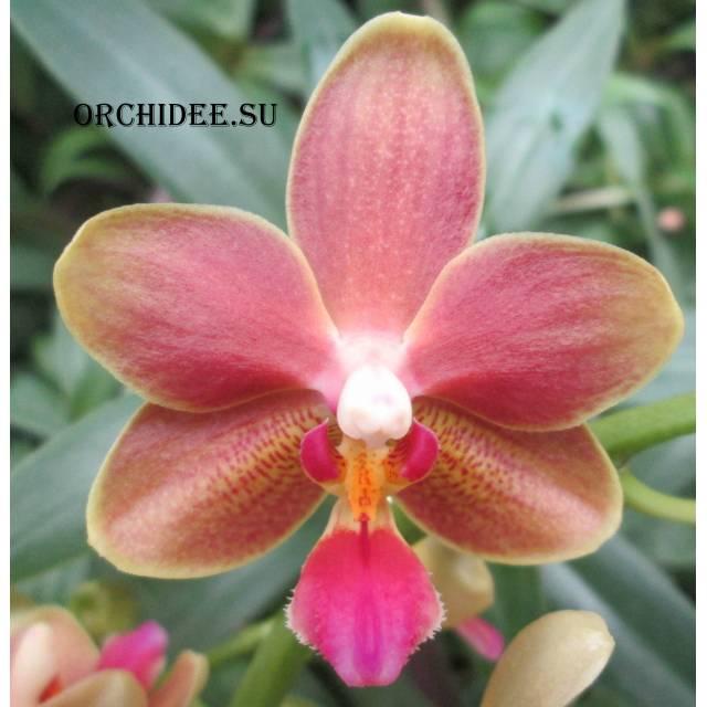 Phalaenopsis PHM 085 Elis Van Orange