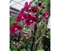 Phalaenopsis PHM 087