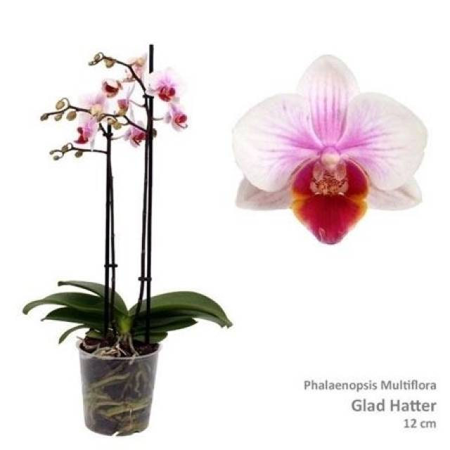 Phalaenopsis PHM 091 Glad Hatter Red Lip
