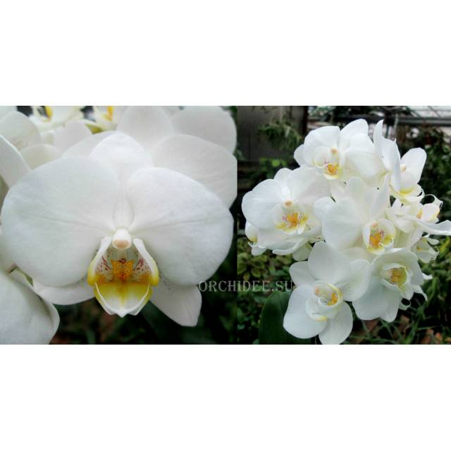 Phalaenopsis PHM 092 Hachiko