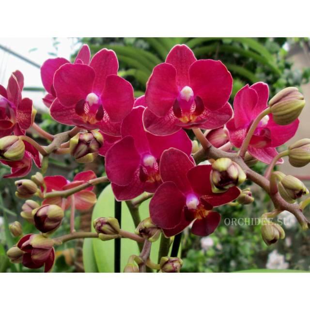 Phalaenopsis PHM 093 Red Lion