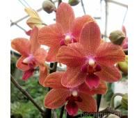 Phalaenopsis PHM 094 Suset Love