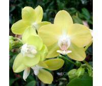 Phalaenopsis PHM 097 Brother Stardust