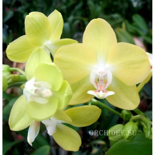 Phalaenopsis PHM 097 Brother Stardust