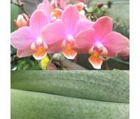 Phalaenopsis PHM 099