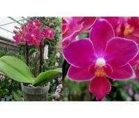 Phalaenopsis PHM 100 Brazil
