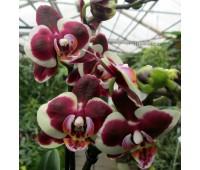 Phalaenopsis PHM 101 Gaucho Harlequin type