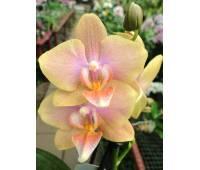 Phalaenopsis PHM 106