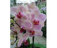 Phalaenopsis PHM 107 Spring