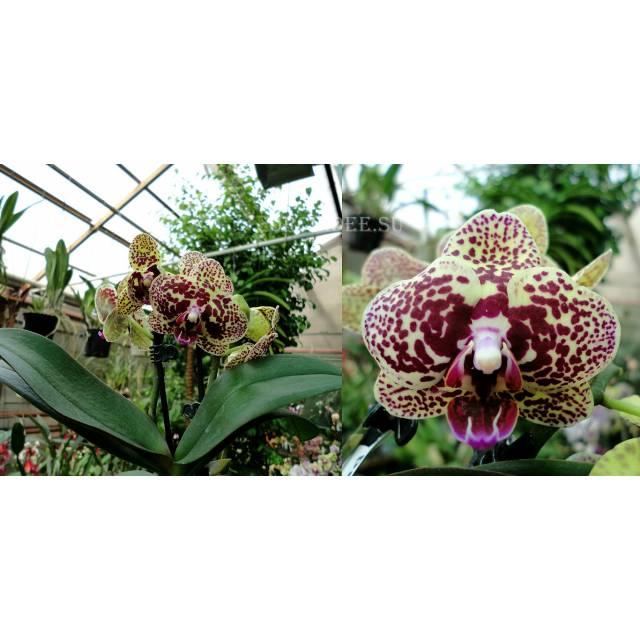 Phalaenopsis PHM 110