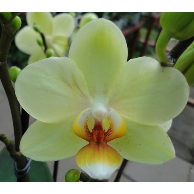 Phalaenopsis PHM 112 Pure Moon 'Cancun'