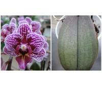Phalaenopsis PHM 114
