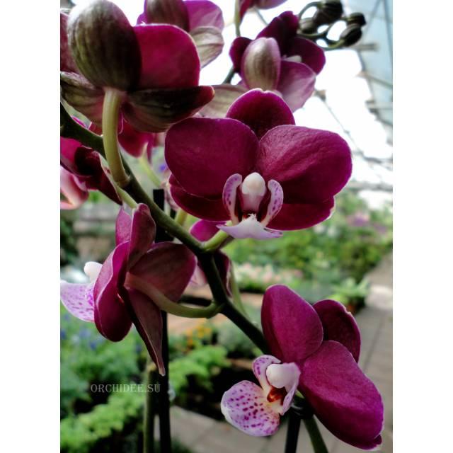 Phalaenopsis PHM 119