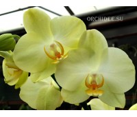 Phalaenopsis PHM 027