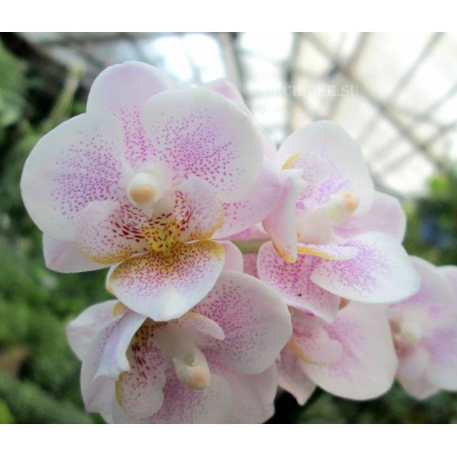 Phalaenopsis PHM 058