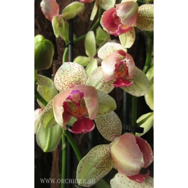 Phalaenopsis PP 002