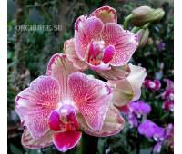 Phalaenopsis (peloric) PP 008