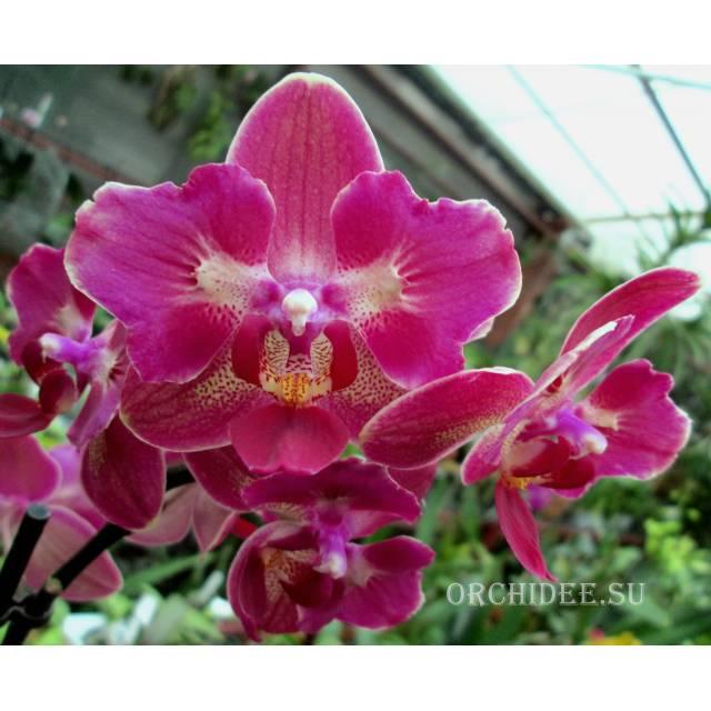 Phalaenopsis (peloric) PP 009
