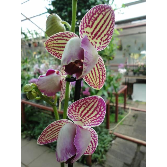 Phalaenopsis PP 012 peloric