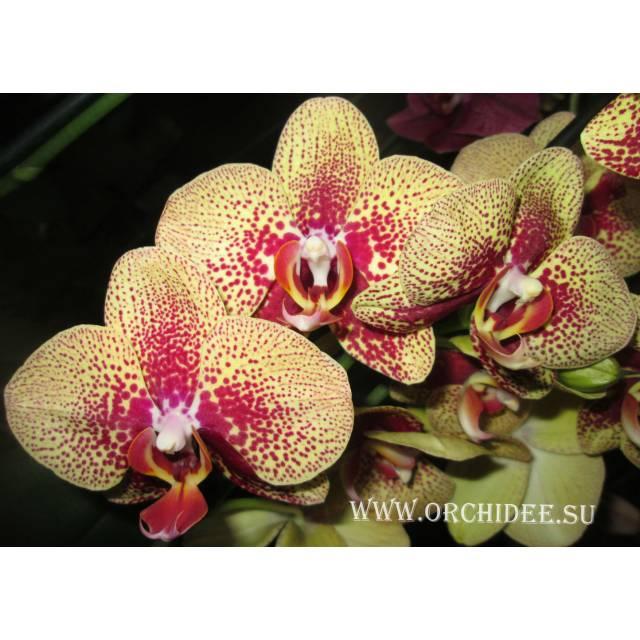 Phalaenopsis PY 001 Charmer