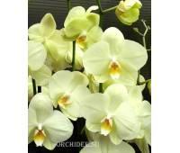 Phalaenopsis PY 002 Yara