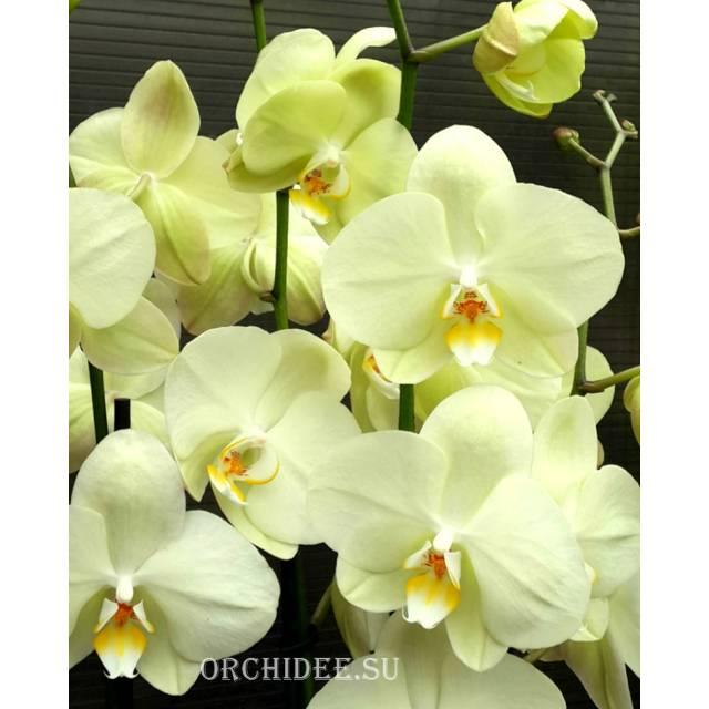 Phalaenopsis PY 002/1 Yara
