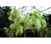 Phalaenopsis PY 006 Norman's Jade 'Green Apple'