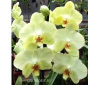 Phalaenopsis PY 008 Ferrara