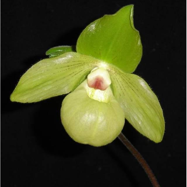 Paphiopedilum Envy Green (malipoense x primulinum)