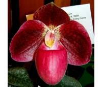 Paphiopedilum bellatulum x micranthum