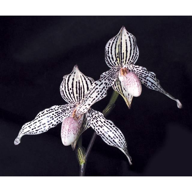 Paphiopedilum Mike Roccaforte (rothschildianum x Greyi)