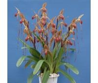 Paphiopedilum Prince Edward Of York  (rothschildianum x sanderianum)