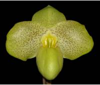 Paphiopedilum Wossner Bellarmi (bellatulum x armeniacum)
