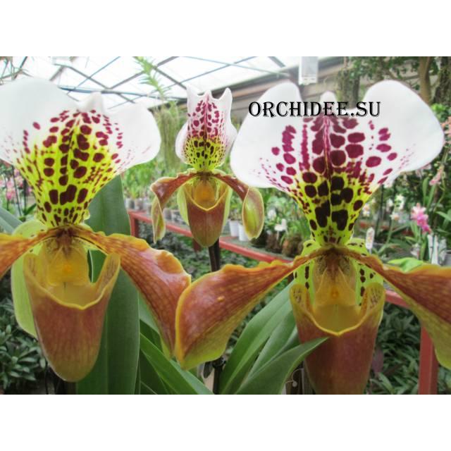 Paphiopedilum American hybrid 001