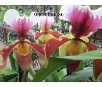 Paphiopedilum American hybrid 002