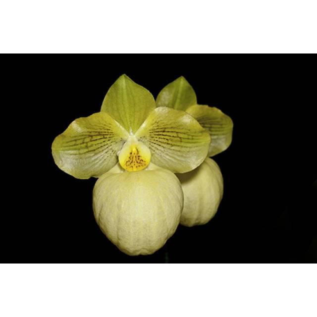 Paphiopedilum Fumi's Delight (armeniacum x micranthum)
