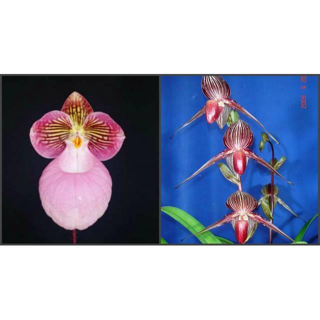 """Paphiopedilum micranthum """"Bear-101"""" x rotschildianum """"New Bear"""""""