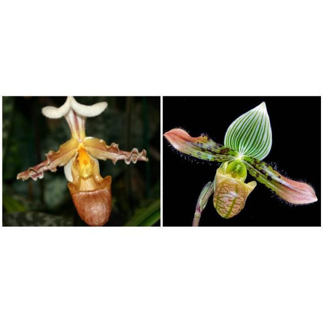 Paphiopedilum venustum x tranlienianum