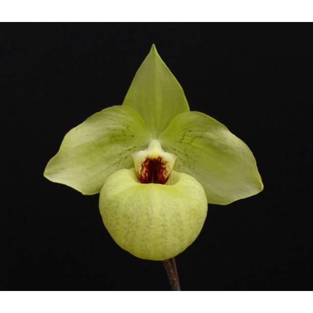 Paphiopedilum Norito Hasegawa  (malipoense x armeniacum)