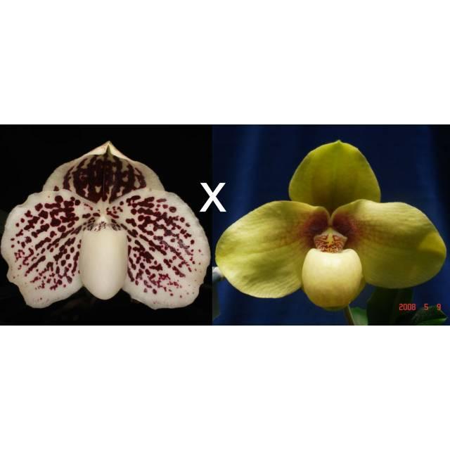 Paphiopedilum leucochilum x hangianum 'Super Bear' SM/TPS