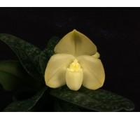 Paphiopedilum concolor fma. album