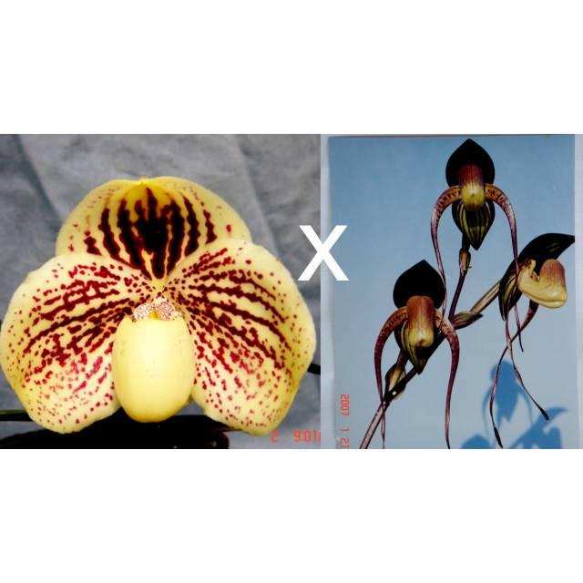 Paphiopedilum leucochilum 'Bear-12' x anitum 'Bear' GM/TPS
