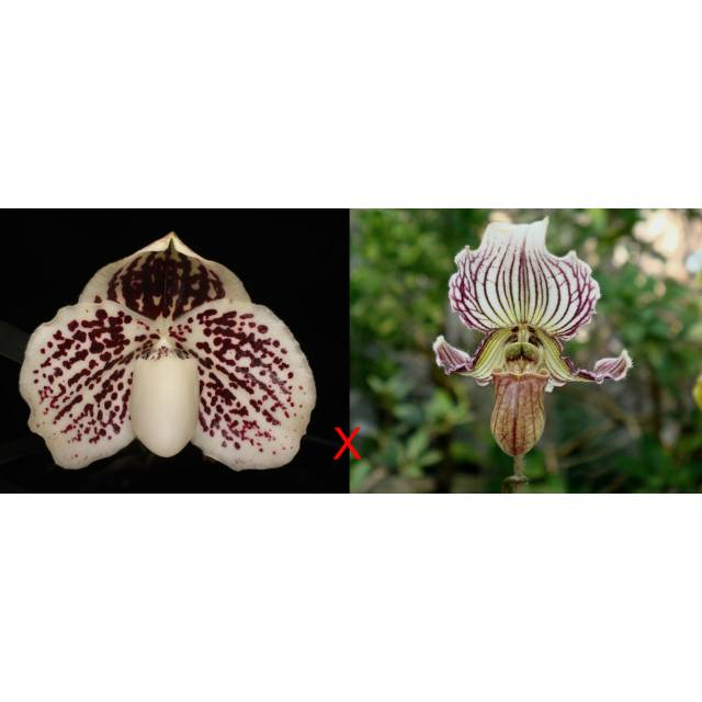 Paphiopedilum leucochilum x fairrieanum