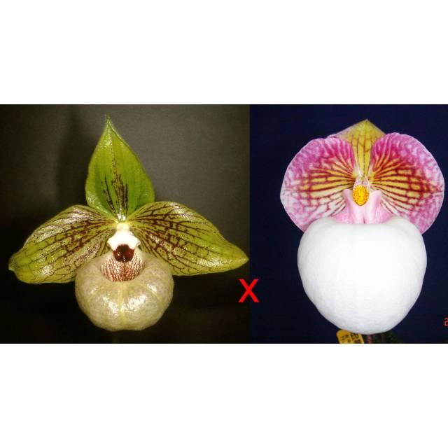 Paphiopedilum malipoense 'Bear-42b' x micranthum var eburneum 'White Bear' SM/TPS