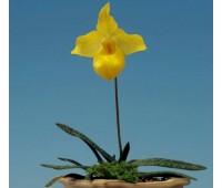 Paphiopedilum armeniacum 'NN'