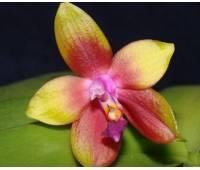 "Phalaenopsis Penang Girl ""THA 48"" (violacea x venosa)"
